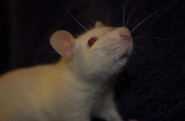 rat breeders in ohio